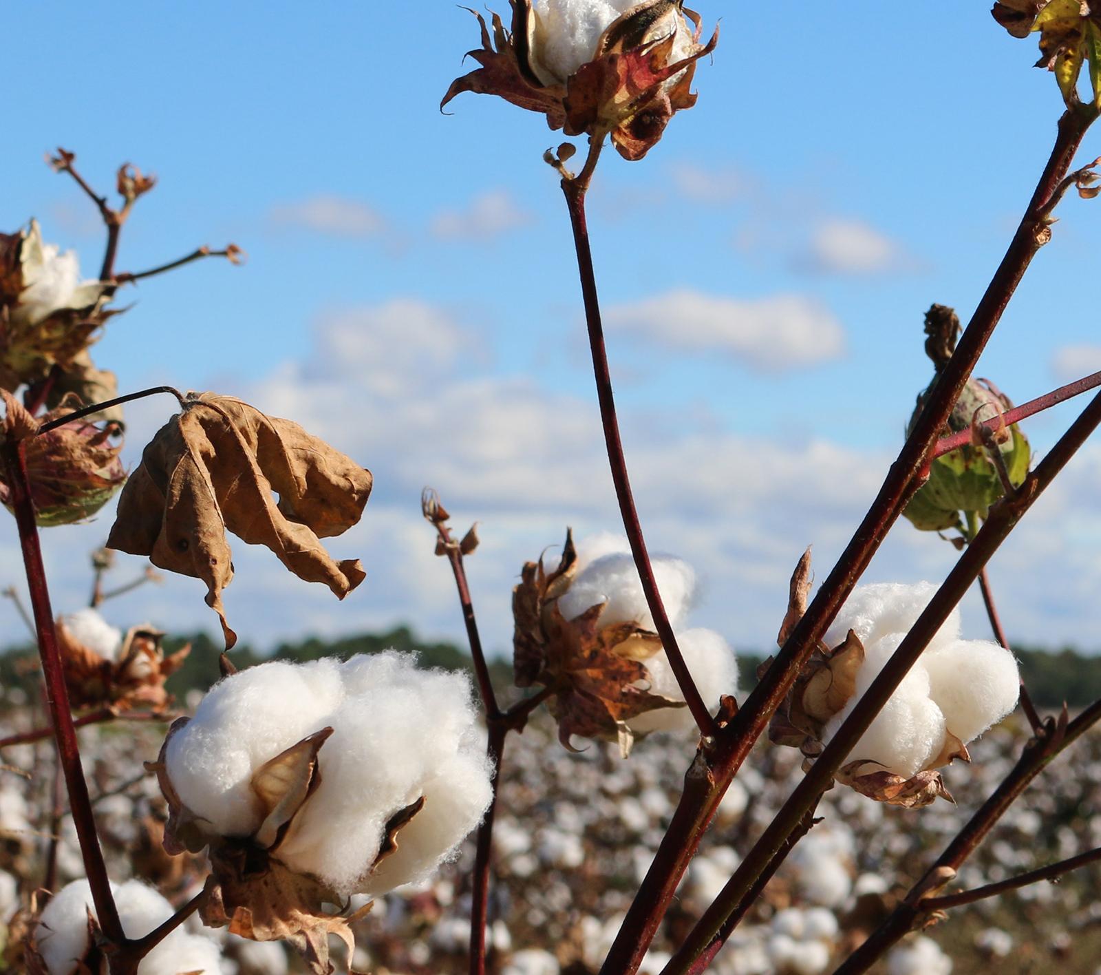 Algodón - Cultivos Gat Fertilíquidos