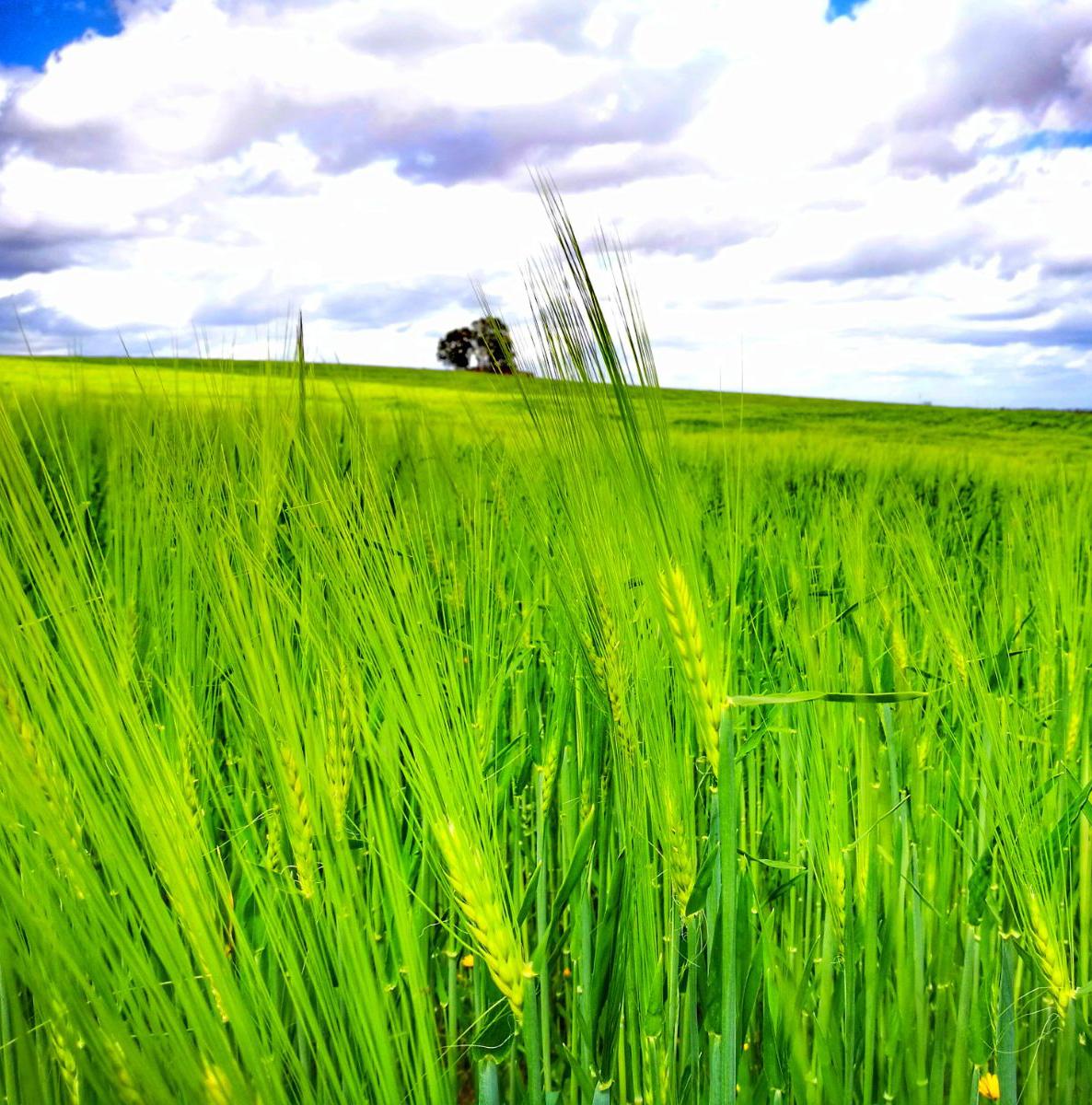 Cereales - Cultivos Gat Fertilíquidos