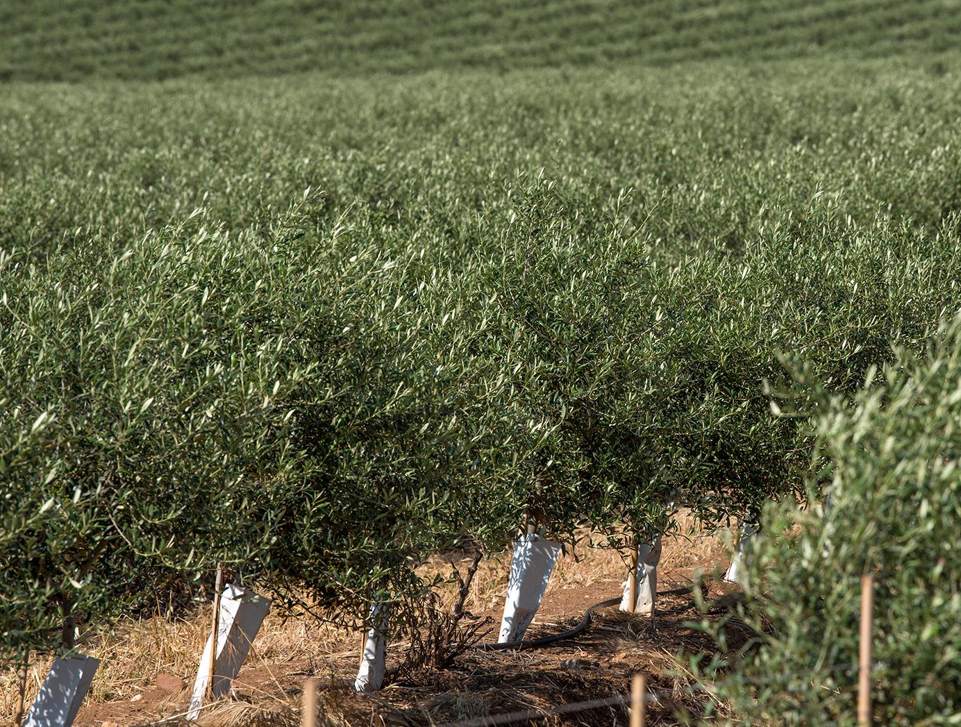 Olivar - Cultivos Gat Fertilíquidos