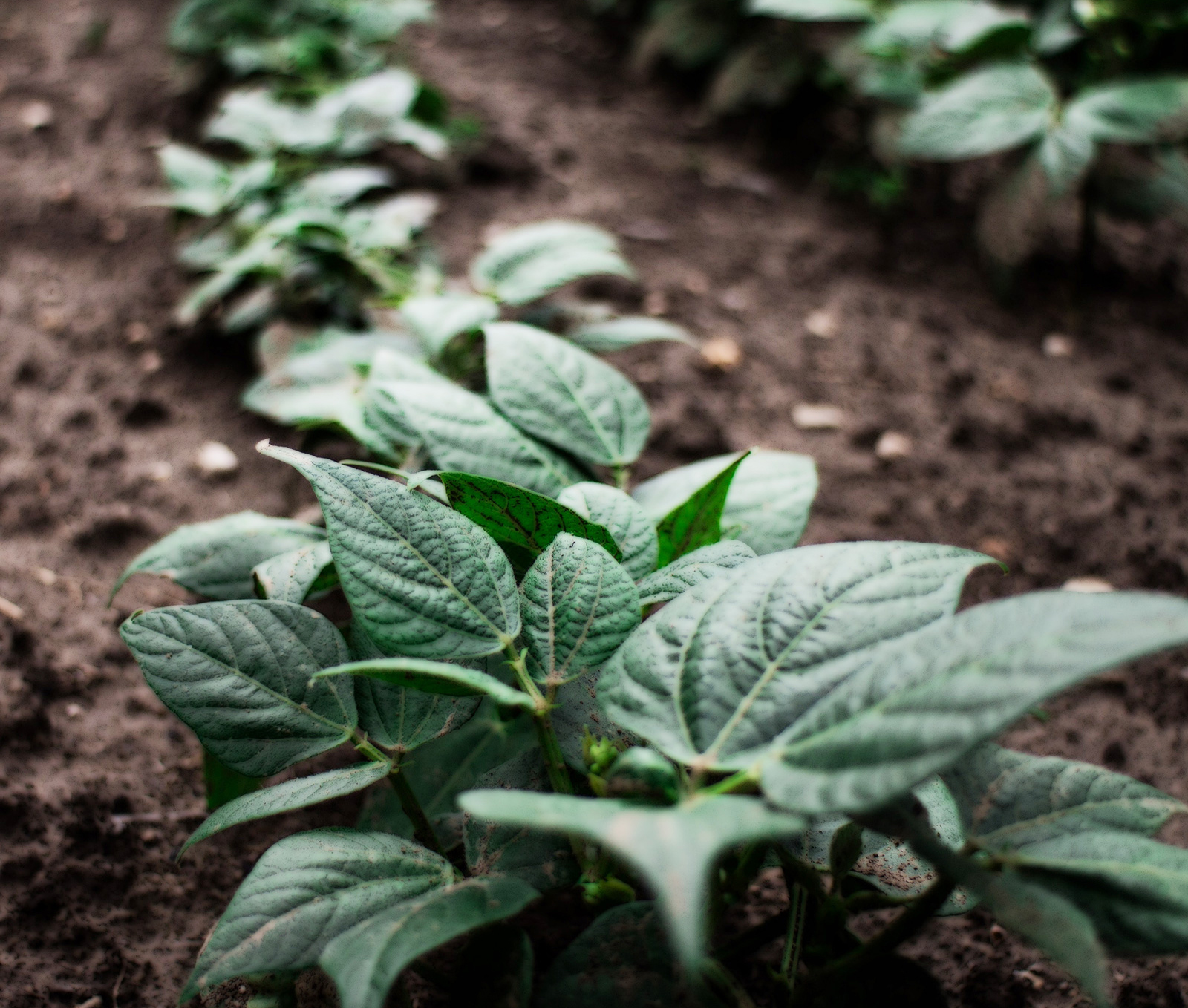 Patata - Cultivos Gat Fertilíquidos