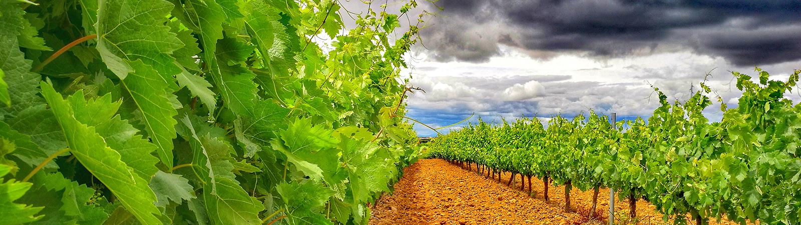 Viñedo - Cultivos Gat Fertilíquidos