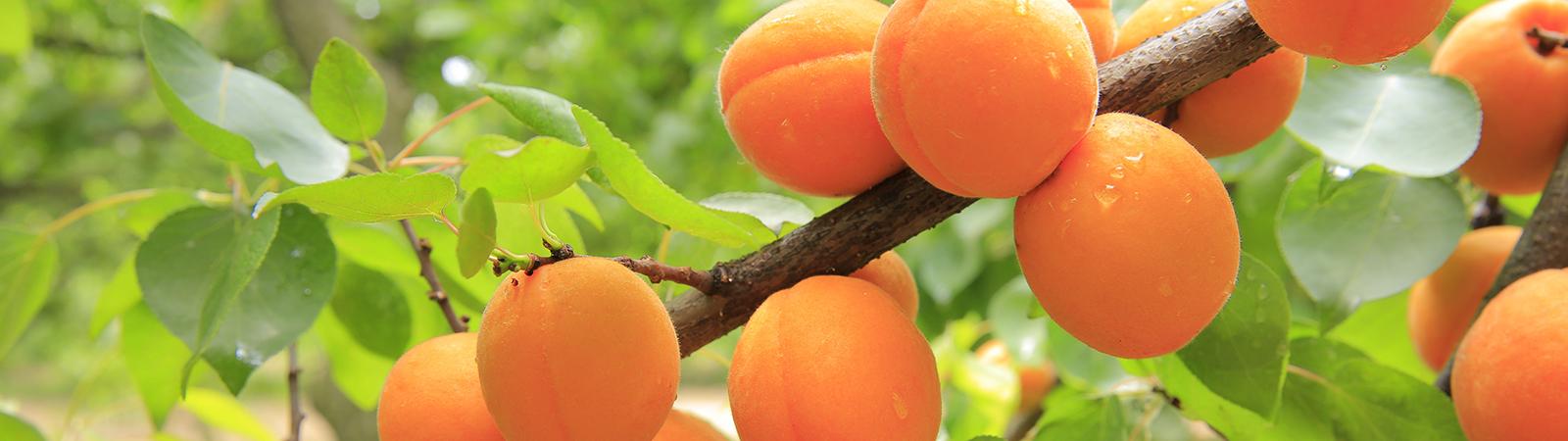 Frutales - Cultivos Gat Fertilíquidos