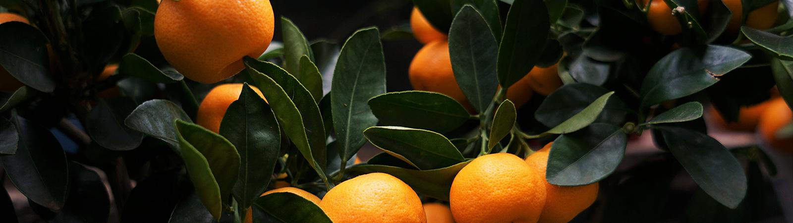 Cítricos - Cultivos Gat Fertilíquidos